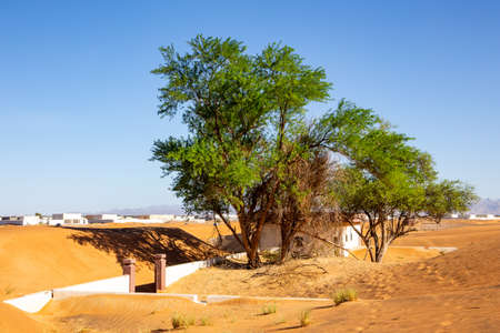 Wild ghaf trees and buried in sand buildings on a sandy desert in Al Madam buried village in United Arab Emirates. Stock Photo