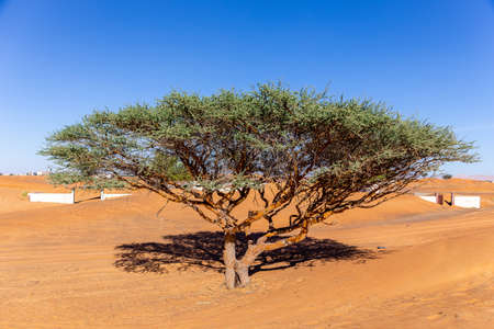 Single Acacia tree on a sandy desert in Al Madam buried ghost village in United Arab Emirates. 免版税图像