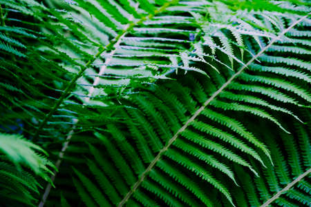 Close up view beautiful perfect young growing fern leaves in the forest. Mystery vibrant color foliage abstract background. Backdrop natural texture of lush fern thickets. Copy space for text design
