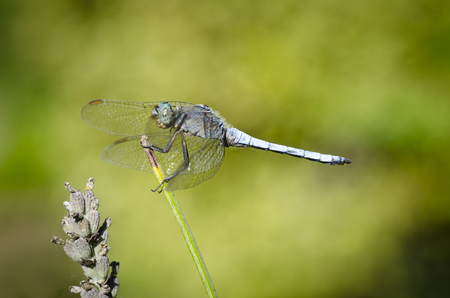 crocothemis: Dragonfly