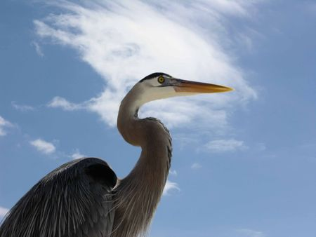head and shoulders of gray heron standing attentively at ocean beach