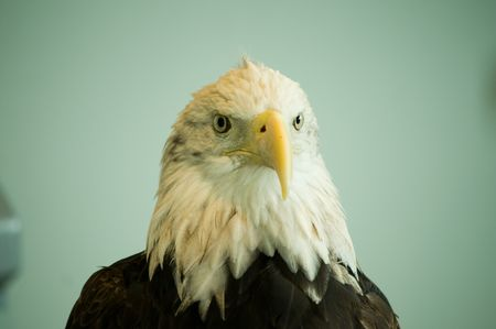 head and shoulders frontal view of bald eagle
