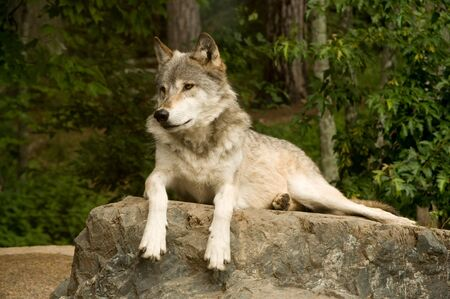 plains: great plains wolf attentively watching while laying on rock in sun Stock Photo