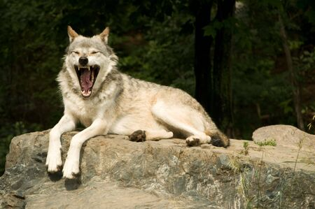 plains: great plains  wolf yawning while resting on rock in sun