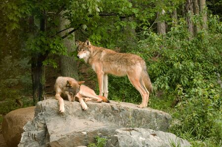 sunning: two rocky mountain wolves on top of their den relaxing and sunning in the sunshine Stock Photo
