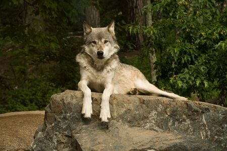 on gray: great plains wolf looking directly into the camera while laying on a large flat rock Stock Photo
