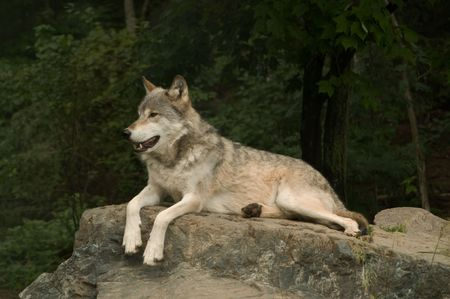 great plains: great plains wolf growling at something off camera while laying on a large flat rock in the sunshine Stock Photo