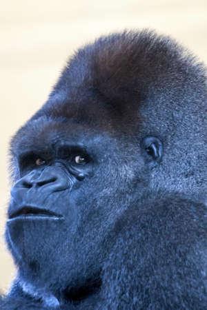 retrato de la cara de un hombre gorila espalda plateada mirando a ti