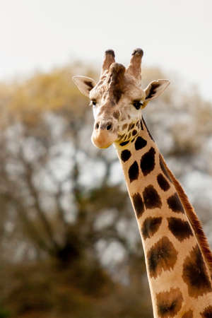 portrait of a head and neck of a giraffe - focus on the face photo