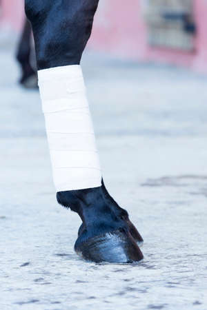 hoof: closeup of a white bandages on a purebred brown horses leg - focus on the hoof