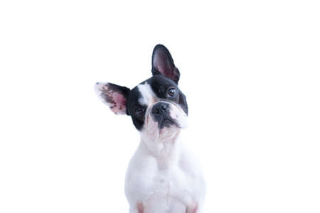 Portrait of black and white French bulldog looking at camera against of white background.