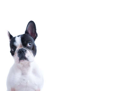 Portrait of funny black and white Frenchie looking up against of white background.