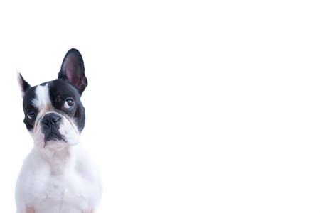 Portret van grappige zwart-wit Frenchie kijken tegen een witte achtergrond.