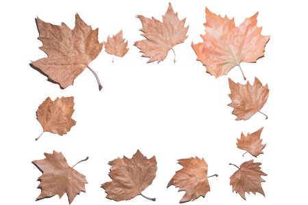 Autumn composition. Frame made of autumn maple leaves. Flat lay, top view, copy space area available. Isolated on white