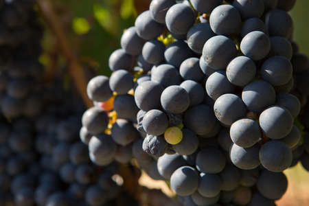 Beautiful view of a close up of the detail of the ripe grapes bunches in a vineyard