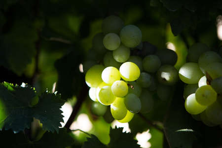 Detail of a green grapes bunch hanging on a plantation of grapevines . Useful as a background Imagens