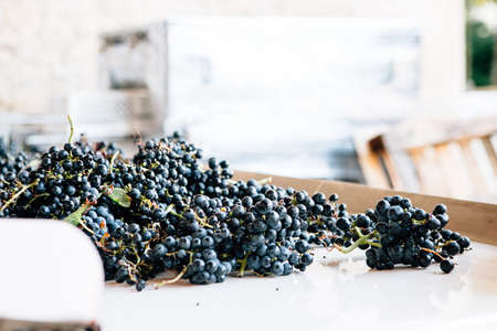 Ripe grapes bunches on a wooden barrel ready to be processed in a wine cellar Imagens