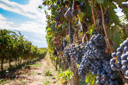 Beautiful view of a vineyard with ripe grapes bunches hanging on sunny day. Copy space area available Imagens