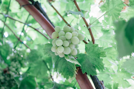 Detail of a green grapes bunch hanging on a vineyard. Useful as a background Imagens