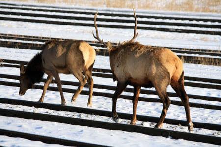 Moose Canada portrait Stock Photo