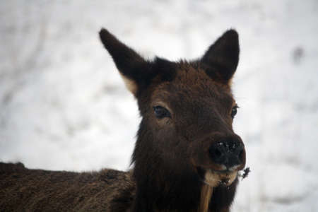 Moose Canada portrait Stock Photo