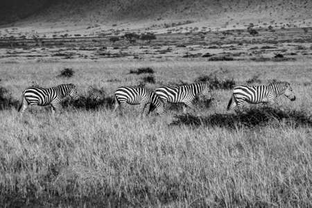 Zebras grazing on grass while they get closer to the river for their migration to the other side. Taken in the Masai Mara, Kenya in 2010 写真素材