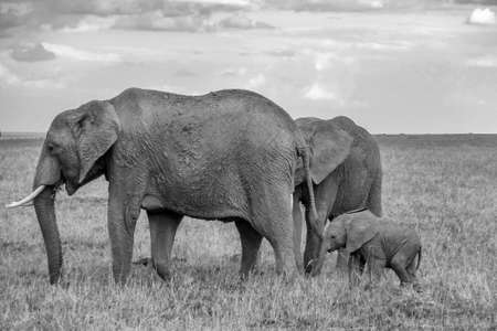 Elephant Family in the Masai Mara, taking a daily walk with the heard Standard-Bild