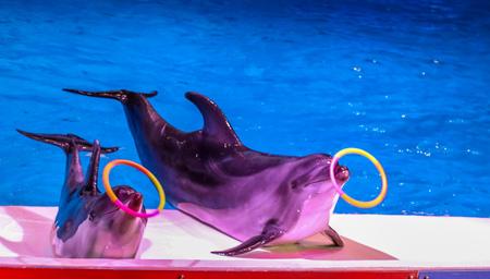 Dancing Dolphins playing with ring at Dubai Dolphinarium, Deira Creek Park, Dubai, United Arab Emirates Stock Photo