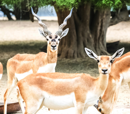 Beautiful wild animal Blackbuck deer (Antilope cervicapra) or Indian antelope in Lal Suhanra National Park Safari Park, Bahawalpur, Pakistan