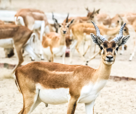 Beautiful wild animal Blackbuck deer (Antilope cervicapra) or Indian antelope in Lal Suhanra National Park Safari Park, Bahawalpur, Pakistan