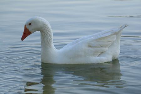 Beautiful white swan duck floating in al qudra lake