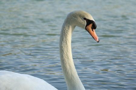 Beautiful White Swan duck floating in al qudra lake Stock Photo - 98909021