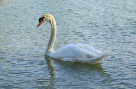 Beautiful White Swan duck floating in al qudra lake Stock Photo - 98909022