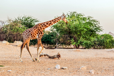 Beautiful wild animal tall Giraffe in Al Ain Zoo Safari Park, United Arab Emirates