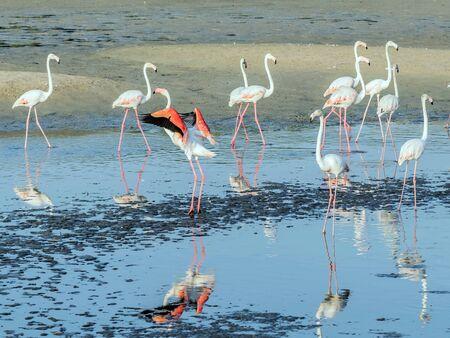 Caribbean pink flamingo at Ras al Khor Wildlife Sanctuary, a wetland reserve in Dubai, United Arab Emirates,