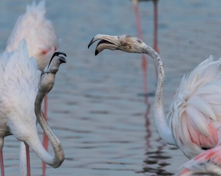 Caribbean pink flamingo at Ras al Khor Wildlife Sanctuary, a wetland reserve in Dubai, United Arab Emirates Stok Fotoğraf