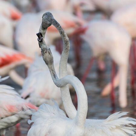 Caribbean pink flamingo at Ras al Khor Wildlife Sanctuary, a wetland reserve in Dubai, United Arab Emirates