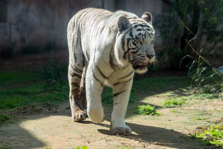 Beautiful wild animal Bengal white tiger (bleached tiger), in Al Ain Zoo, Safari Park, Al Ain, United Arab Emirates
