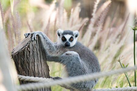 Wild Animal Ring-Tailed Lemur in Al Ain Zoo Safari