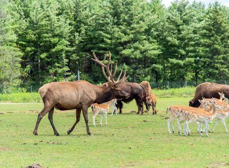 Barasingha Rucervus Duvaucelii or Swamp Deer in Hamilton Safari, Ontario, Canada
