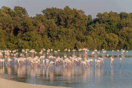 Caribbean pink flamingo at Ras al Khor Wildlife Sanctuary, a wetland reserve in Dubai, United Arab Emirates 스톡 콘텐츠