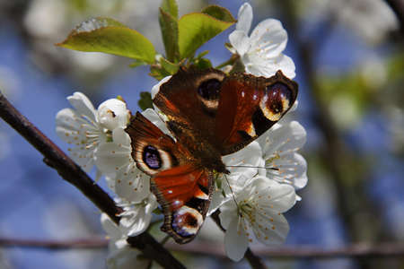 the butterfly , apple-tree flower Stock Photo - 11914882
