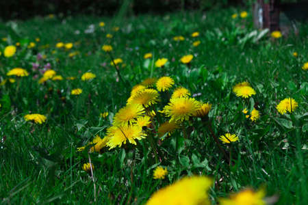 Summer, sun and meadow with dandelions photo