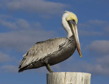 Brown Pelican perched on post