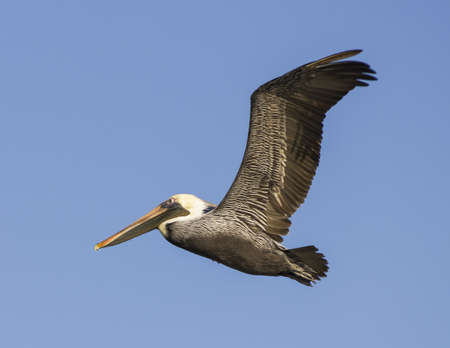 Brown pelican in flight Banco de Imagens