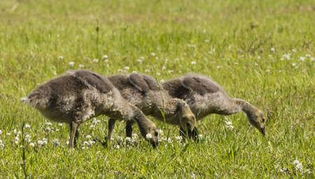 Goslings feeding photo