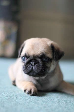 woken: Pug Puppy has just woken up