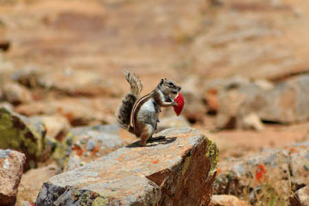 High in the mountains of Fuerteventura a Barbary ground squirrel eats a peice of apple