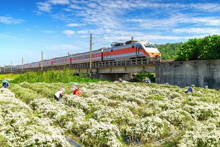 train passing through chrysanthemum field in tungluo, miaoli