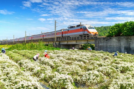 train passing through chrysanthemum field in tungluo, miaoli